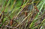 Carex magellanica ssp. irrigua
